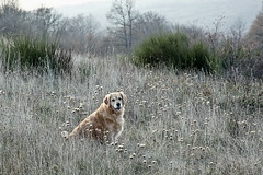 Happy Birthday Maya (RD_Elsie) Tags: goldenretriever tuscany toscana bastione