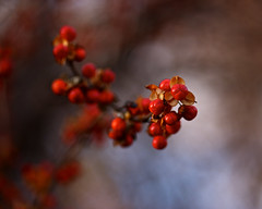 A Light in the Forest (Cam Miller 2016) Tags: november red nature berry woods bokeh vine poison bittersweet redandwhite shallowdof cammiller redberrries