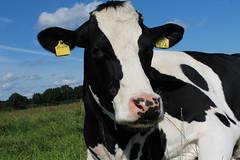 Night Fly (excellentzebu1050) Tags: animal animals closeup cow cattle outdoor farm animalportraits heifer dairycows coth5 cattleportrait sept2015shootcowsheifers