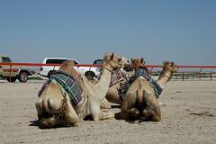 doha camel race (Parto Domani) Tags: animal animals race radio robot corse arabic east camel arab oriente practice middle peninsula medio animali animale  doha qatar corsa arabica cammello  arabo penisola dromedario araber     cammelli  dromedari