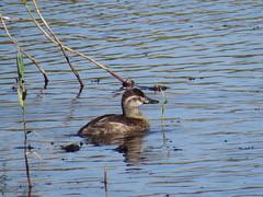 Ruddy Duck - Texas by SpeedyJR (SpeedyJR) Tags: nature birds texas wildlife ducks nwr ruddyduck anahuacnationalwildliferefuge anahuacnwr nationalwildliferefuges chamberscountytexas speedyjr ©2015janicerodriguez