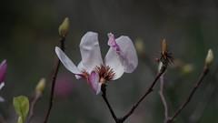 Magnolia Liliiflora (bamboosage) Tags: takumar 25 135 supermulticoated