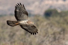 honey buzzard (carltaylor) Tags: bird birds birding birdwatching cyprus limassol akrotiri canon canon70d nature ngc natural wildlife wild