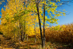 L'AUTOMNE SE POURSUIT (BLEUnord) Tags: automne autumn richelieu montrgie arbres trees feuilles leaves champ field paysage landscape canon eos 5d mark iii