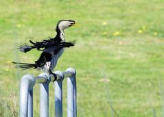 Shake your tail feather... Little Pied Cormorant (melizzajane) Tags: cormorant bird aquaticbird australianbird shake littlepiedcormorant nature park parks clayton vic victoria australia namatjirapark