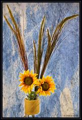 sunflowers (P.Hcherl) Tags: 2016 nikon d5300 sonnenblumen rahmen textur sunflowers flower blumen blte blossom afsdxnikkor35mmf18g