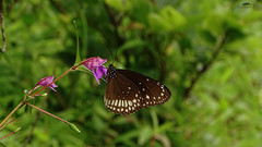 Butterfly on Flower Near Pune (Jangra Works) Tags: green garden butterfly focus pune western ghats valleys fields grass straight beauty scenes scenic eye relaxing environment climate rainfall season good rainy cloudy mountains hills sunny nature natural