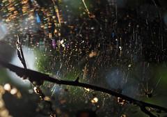 illuminated (Johnson Cameraface) Tags: 2016 september summer olympus omde1 em1 micro43 mzuiko 1240mm f28 johnsoncameraface cobweb backlit spider arachtober pottericcarrnaturereserve pottericcarr yorkshirewildlifetrust doncaster