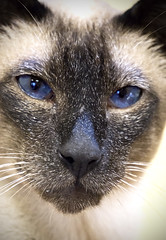 Luther (sjoblues) Tags: cat portrait kitty eyes siamesecat blueeyes blue animal face nose whiskers orientalshorthair