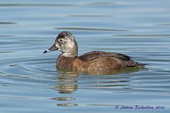 Leucistic Ring-necked duck (Andrew's Wildlife) Tags: leucistic ring necked duck