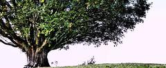 M Y T R E E (Swiss.piton (B H & S C)) Tags: bergahorn tree baum toggenburg ostschweiz olympusdigitalcameraomdem5ii olympus75mmf18microfourthirdslens olympusomdem5miizuikom75mmf18 3x1panoramastitching panorama olympus microfourthird microfourthirdsphotography m43photography oblong