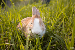IMG_1574.jpg (ina070) Tags: animals canon6d cute grass outdoor outside pets rabbit rabbits