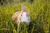 IMG_1574.jpg (ina070) Tags: animals canon6d cute grass outdoor outside pets rabbit rabbits 兔 兔子 寵物 草叢 草地 草皮 å åå å¯μç© èå¢ èå° èç®