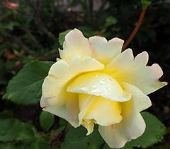 "Rosa ""Athena"" (tgrauros) Tags: athena göteborg gothenburg konungariketsverige roserar roses suècia sverige sweden trädgårdsföreningen gardensocietyofgothenburg"