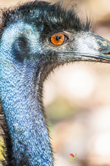 Close up of an Emu (grobler.inus) Tags: birds birdphotography animal nature photography flying wings photo naturephotography emu australia australian australianbird