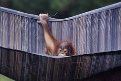 Hold on tight (ucumari photography) Tags: ucumariphotography orangutan animal mammal metrorichmondzoo richmond va virginia zoo october 2016 dsc5081