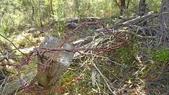 barbed wire barrier_2 (Tony Markham) Tags: barbedwirebarrier militaryhistorymilitaryhistory military 10bfiretrail 10b sevencreekstrack dharawalnationalpark dharawal