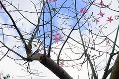 The fall (linwujin) Tags: sky flower taipei taiwan sunny tree pink blue cloud fall
