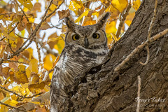 October 14, 2016 - Fall colors and a Great Horned Owl in Adams County. (Tony's Takes)