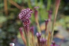 Carnivorous Pitcher Plants (3) (Lex Photographic) Tags: carnivorousplants carnivore pitcher pitcherplant
