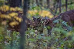 PreRutSparring (jmishefske) Tags: wehr october nikon nature d500 center whitnall 2016 franklin antler rut sparring rack wisconsin wildlife buck park milwaukee fighting deer whitetail