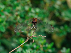 Japan '16 (72 of 88) (Cheeky-Mouse) Tags: japan view green nature forest rural dragonfly closeup macro bug insect outdoor animal animals