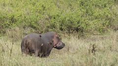 _MG_1073 (esevelez) Tags: tanzania africa serengueti serengeti animales animal animals parque nacional national park nature naturaleza hipopotamo hippopotamus charca pool pond