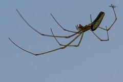 Araignée indéterminée (CCphoto12) Tags: arachnide araignée insecte nature rouhenac