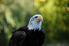 Bald Eagle (Christoph Kampf) Tags: wild animal adler bald eagle baldeagle america weiskopfseeadler bokeh paws raubtier predator sun gras nature wildlife nikon 80200 28 d700 nikond700