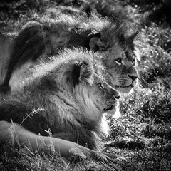 two lions 2 (MAICN) Tags: zoo sw bw lwen lion schwarzweiss blackwhite mono einfarbig tiere nikon d810 schwarzweis outdoor square