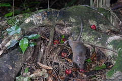 Mouse (Mus musculus) and Maire tawaki (Eugenia marie) ? (Nga Manu Images NZ) Tags: eugeniamaire fscientificnames feeding mammals marietawakiswampmarie mouse musmusculus plantsandfungi trees