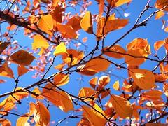 1 Orange Sky (Mertonian) Tags: autumn fall orange yellow canon powershot g7x mark ii canonpowershotg7xmarkii mertonian robertcowlishaw trees bluesky lookingup lunchwalk heavenly awe wonder ineffable