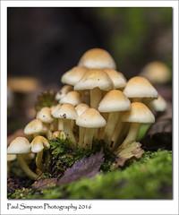 Fungi Family (Paul Simpson Photography) Tags: mushroom mushrooms toadstool tinymushrooms sonya77 sonyphotography paulsimpsonphotography photoof photosof plantlife naturalworld nature imageof imagesof october2016 woods woodland automne autumn