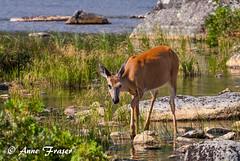 A morning walk (Anne Marie Fraser) Tags: outdoor doe deer water pond nature wildlife summer rocks beautiful wild