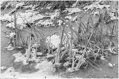 AMS Ekebysjns Naturreservat 161130 (_I_AM_) Tags: ekebysjn vinter bw blackwhite winter intimatelandscape pond naturereserve sweden frozen frosty ice cold winterlandscape weed trees snowspots branches natur