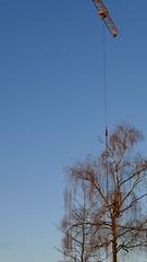 Betula pendula (arborist.ch) Tags: felling fllung arborist arboriculture baumpflege baum baumklettern