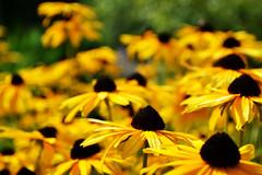 Black-eyed Susans, Potawatomi Inn at Pokagon State Park (svandagr) Tags: flowers floral wildflowers nature flora park trail hike pokagonstatepark indiana outdoor summer indianastateparks statepark flower