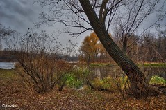 Late Autumn (t-maker) Tags: river riverfront backwater riverbank bank beach sand ground grass weed water nature plant green greenery foliage leaf leaves fallen tree rind bark beam trunk stem bole grove copse wood woods forest rush reed cane duckweed bush shrub twig branch fall autumn day sky grey cloud overcast chilly dull shadow reflection waterscape landscape scenery dnieper kyiv kiev ukraine europe hdr sony nex