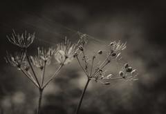 Webinar (Shastajak) Tags: monochrome blackandwhite seedhead webs