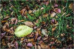 Leaf (Jistfoties) Tags: dawyckgardens autumn scottishborders botanicgardens landscape canon5d canon24105f4