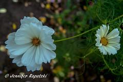 Weie Kosmee (Bernsteindrache7) Tags: autumn sony alpha 100 color flora fauna flower garden bloom blossom blume outdoor landscape park white