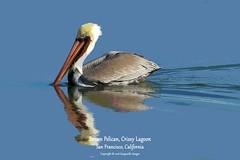 7D2_9450_DPP_PS.Comp2048 (SF_HDV) Tags: canon7dmarkii canon7dmark2 7dmarkii 7dmark2 7dm2 pelican brownpelican crissylagoon sanfrancisco bird photoshopped posterized