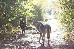 autumn trip (nyo denyo) Tags: lumos nvis lubna khalil cwd tamaskan malinois black shepherd forest trip tams winter autumn walk dog dogs wolfdog wolfdogs czechoslovakian tchcoslovaque chien loup