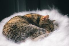 De-stressing (duncan_mclean) Tags: asleep pet curled cat snooze milliemoo millie feline sleep