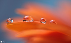 Standing out from the crowd (Trayc99) Tags: bright colourful drops droplets water waterdrops reflections petals delicate beautyinnature beautyinmacro beautiful macro wow