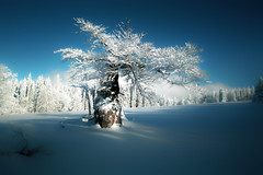 White lonely tree (Bayerwaldteam) Tags: winter schnee snow baum tree himmel sky blau blue
