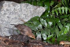 Blackbird (Terdus merula) (Nga Manu Images NZ) Tags: blackbird drinking fscientificnames turdusmerula