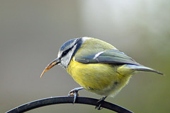 Edward Scissorbeak - The Unusual Blue Tit (Hatto26) Tags: cyanistescaeruleus bluetit blue tit wild wildlife nature bird ornathology unusual deformed beak bill needle scissor natural