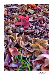 Red leaf (Artico7) Tags: leaf red liquidambar autumn fall autunno foglia rossa garden ground colour colours warmth fuji xe1
