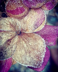 Frosty Petals (Ruby_Louise) Tags: iced icy frosted frozen frostyday winter cold freezing weather seasonal christmas december floral pinkblush ethereal natural beautiful lateblooms oldcolour withered weathered dying frozenintime winterflowers sprinkles droplets